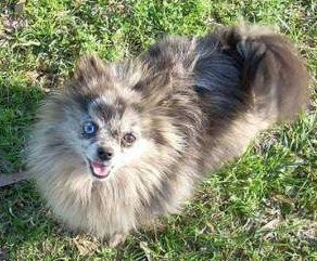 Pomeranian with different colored eyes