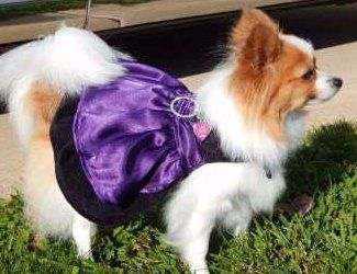 Pomeranian wearing purple dress