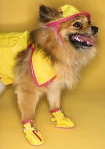 Pomeranian with rain coat and shoes