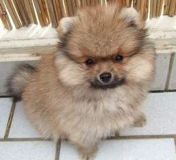 Pomeranian white and tan