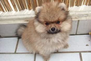 Pomeranian Names | Pomeranian Information Center