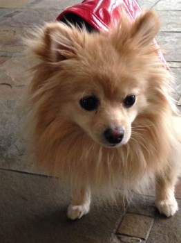 Pomeranian 2 years old