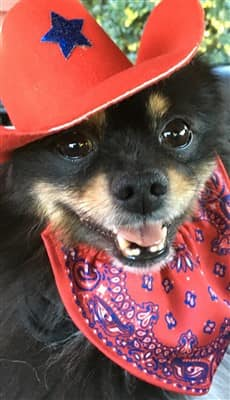 Pomeranian wearing 4th of July hat
