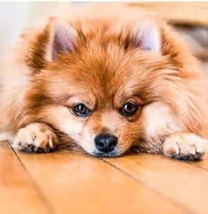 Pomeranian lying on floor