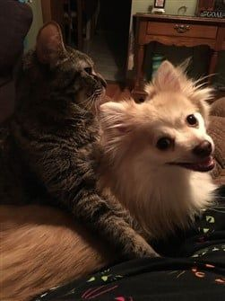 pomeranian-and-cat