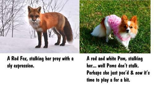 Pomeranian dog and a fox