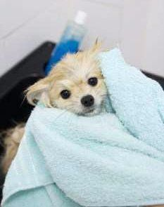 Pomeranian drying off after bath