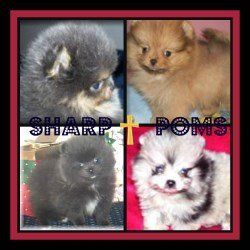 Arizona Pomeranian Breeder