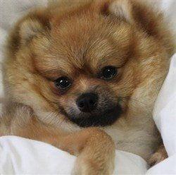 Pomeranian cuddle