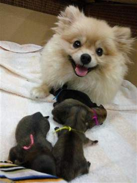 Pomeranian Pregnancy | Pomeranian Information Center