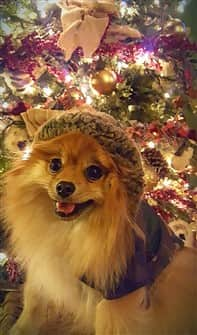 pomeranian-dog-on-christmas