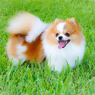 Pomeranian outside in grass