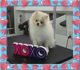 pomeranian-dog-valentine-greeting