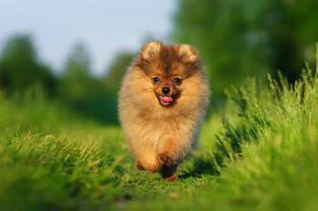 Pomeranian exercising