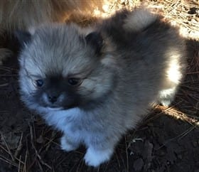 Pomeranian Breeders| Personally Recommended