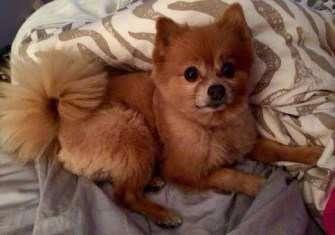 Pomeranian fox cut
