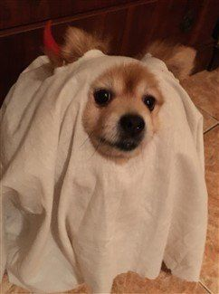 pomeranian-halloween-costume-friendly-ghost : dog ghost halloween costumes  - Germanpascual.Com