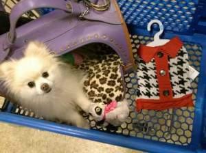 Pomeranian in shopping cart