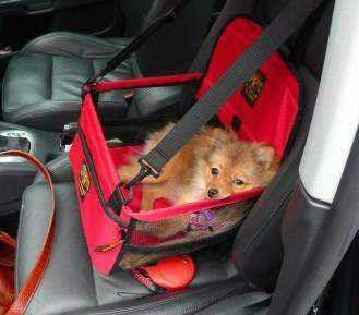 Pomeranian in good car seat