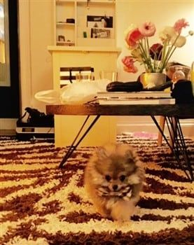 pomeranian-in-kitchen-with-snack-