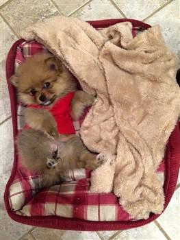 Pomeranian care