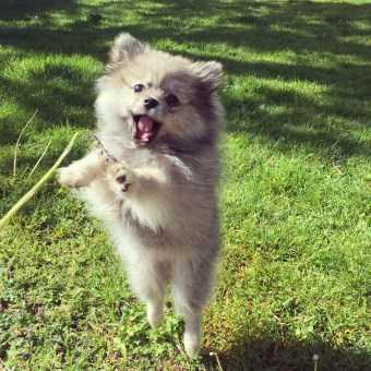 Pomeranian outside in the summer