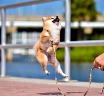 Pomeranian jumping high