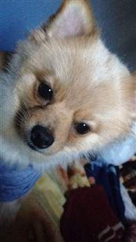 Pomeranian looking sidways