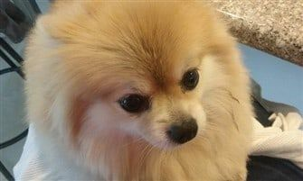 pomeranian-named-fluffy