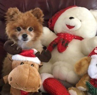 pomeranian-on-christma