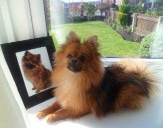 Pomeranian dog posing