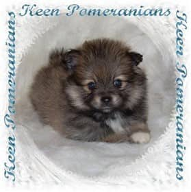 North Alabama Pomeranian Breeder