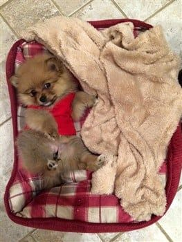 pomeranian-puppy-in-dog-bed