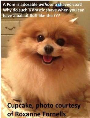 Pomeranian with nice round coat
