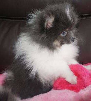 Pomeranian self colored eyes