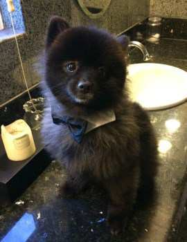 Pomeranian sitting on counter