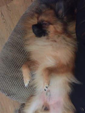 Pomeranian Sleep Habits | Puppies and Adults