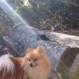 Pomeranian outside with sun shining