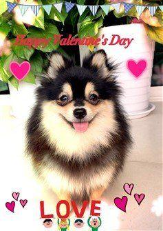 pomeranian-valentine-greeting