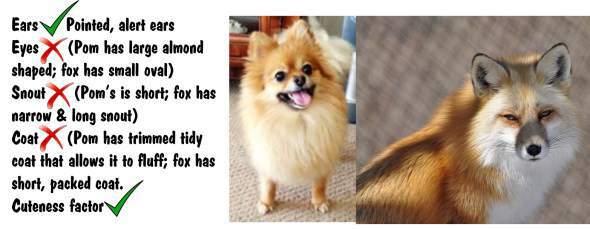 Pomeranian VS Fox Comparable Chart