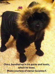 Pomeranian wearing winter clothes