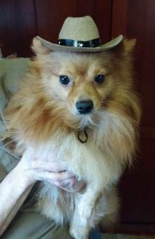 Pomeranian with hat