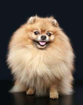 light orange Pomeranian full coat