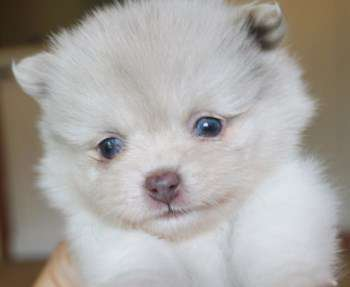 Pomeranian with light blue eyes
