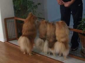 Pomeranians behind gate