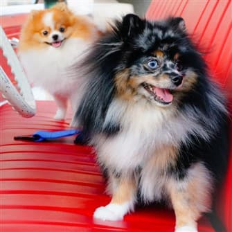 Pomeranians with trimmed coats