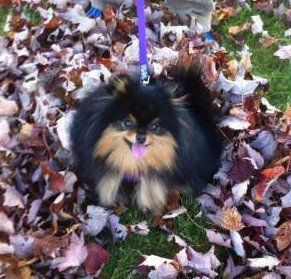 Pomeranian in a pile of leaves