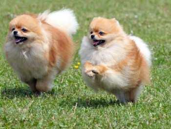 Pomeranian running around