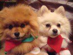 two cute Pom puppies