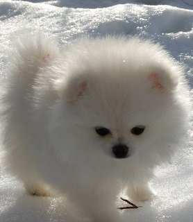 pure white Pomeranian puppy